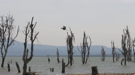 driftwood : African Bird Takes Off From The Shores Of Lake Naivasha And Flies To Dead Snags