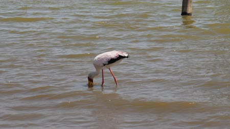аист : Yellow Billed Stork Looking For With His Beak In The Water The Fish Стоковые видеозаписи