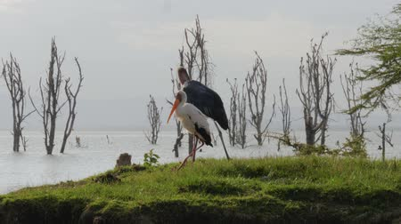 brodění : Marabou Bird Goes Near The Stork On The Shore Of Lake Naivasha In Africa