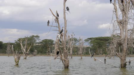 perching : Birds Big Cormorants Sit On The Dried Branches Of Flooded Trees In Lake Naivasha