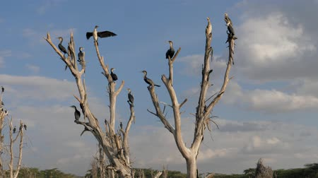 perching : Many Birds Cormorants Sitting On The Dry Branches Of A Submerged Dead Trees Stock Footage