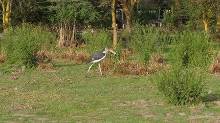 scavenger : African Bird Marabou Walks Along The Shore In The Grass Looking For Food