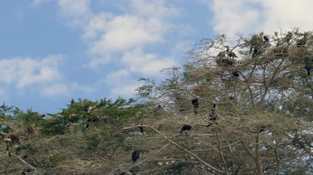 greater : African Birds Big Cormorant Nest And Sit On The Branches Of The Crown Of Acacia Stock Footage