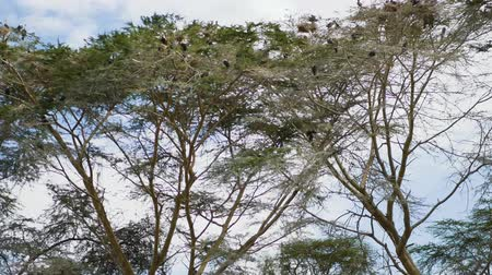 greater : Many Cormorant Nest On The Curves Of The Branches And Crowns Of The Acacia Trees