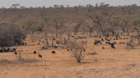 samburu : Herd Of Vulturine Guineafowl Looking For Food In The Desert Among The Shrubs
