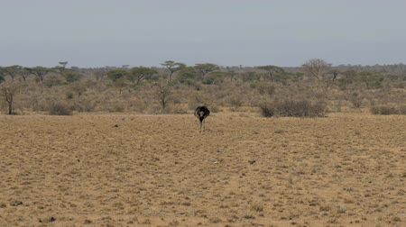 pštros : African Ostrich Looking For Food In The Desert In The Dried Grass And Pecks It