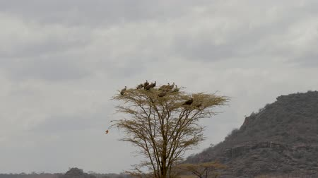 vulture : A Flock Of Vultures Sitting On Top Of A Tree And Looks For Prey In The Africa. Stock Footage