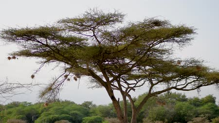 csajok : Birds Nests At The Ends Of Acacia Tree Branches For Protection From Predators