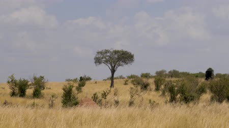 akát : Views Of The African Savannah With Yellow Grass From The Drought And The Bushes