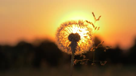 wiet : Close-Up Of A Dandelion Through Which The Sun Shines At Sunset With Warm Rays
