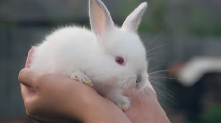прижиматься : Close Up Of Hands Holding A Little White Rabbit Cub Стоковые видеозаписи