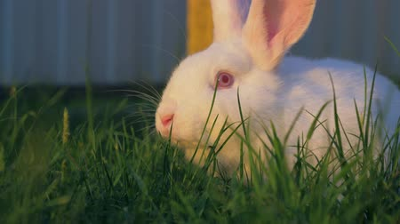 кролик : Close Up Of White Rabbit Eating Grass On Green Lawn In Meadow Стоковые видеозаписи