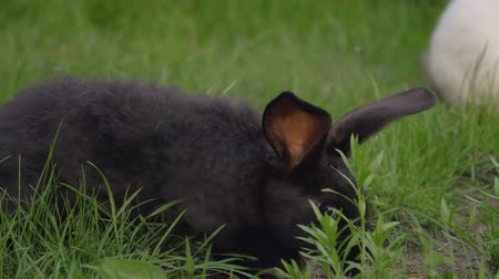 szare tło : Black Funny Rabbit With Big Ears Jumps On A Green Meadow And Eats Grass