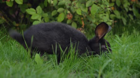 coelho : Black Funny Rabbit With Big Ears Jumps On A Green Meadow