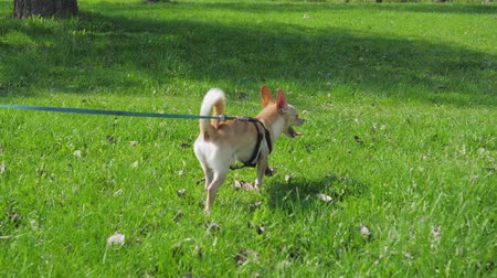 canino : Funny Small Dog On Leash At Green Lawn In Sunny Day In Park Vídeos
