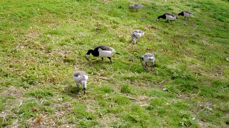 flock of geese : Canadian Geese And Chicks Beak Peck The Green Grass And Bugs On The Ground Stock Footage