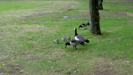 feeding ground : Canadian Goose And Chicks Peck Green Grass And Bugs On Ground In The Park