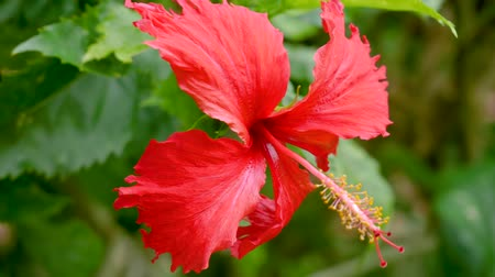 rosa sinensis : Amazing Hibiscus Rosa Sinensis Flower During Blossom Stock Footage
