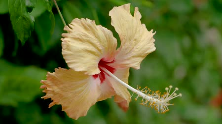 hibiscus : Amazing Beautiful Hibiscus Rosa Sinensis Flower During Blossom Close Up