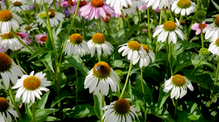 spiky : Flowers Are Echinacea Lavender White Bloom On A Sunny Summer Day