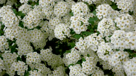 virágmintás : Blooming Spirea Many White Flowers Stock mozgókép