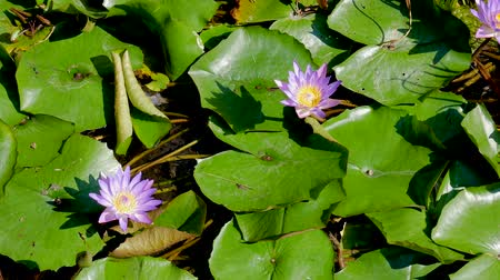 leknín : Blue Lotus In The Lake