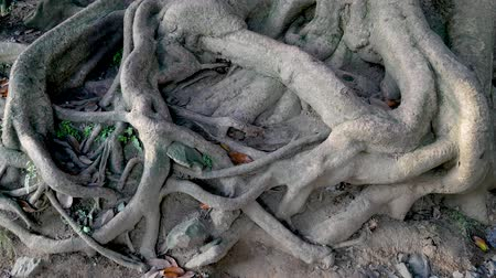 změť : Intertwined Large And Thick Tree Roots On The Surface Of The Earth Dostupné videozáznamy