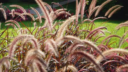ornamentální : Close Up Of Decorative Bush Pennisetum Pink On A Sunny Day