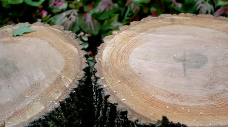 sawn : Round Saw Cut Of An Old Tree With Rings Sawn In A Circle