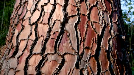 pinus : Red Texture Of The Bark Of The Pine Tree Stock Footage