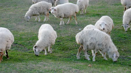 ewe : Herd Of Sheep Grazing In A Field On A Ranch Eating Green Grass