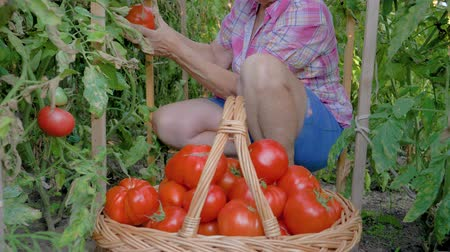 squatting : Old Woman Collects Hands In A Basket Of Ripe Tomatoes In The Greenhouse Stock Footage