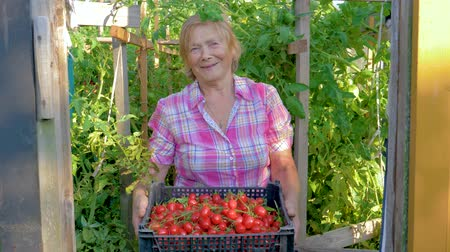 collected : In Greenhouse Elderly Woman Holding A Box With Harvest Of Ripe Cherry Tomatoes