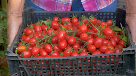 collected : Close Up In Greenhouse An Old Woman Hands Holding A Box Of Ripe Cherry Tomatoes Stock Footage