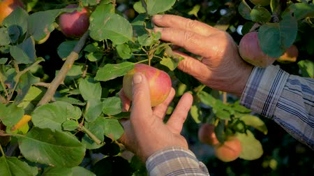 agronomist : Hands Of The Old Farmer Collected The Tree Ripe Apple Close Up Stock Footage