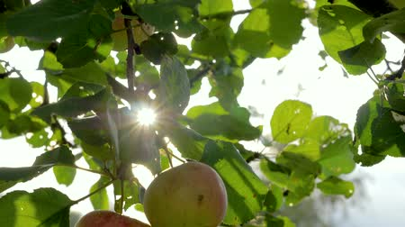 golden falls : Apple Tree With Beautiful Natural Red Apples In The Sun Shines