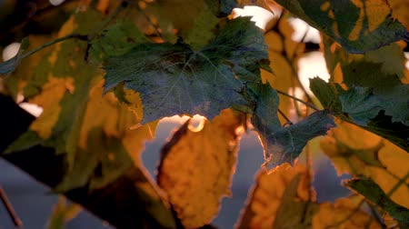 red wine : Camera Movement The Flickering Of Sunlight Through The Vine Leaves At Sunset