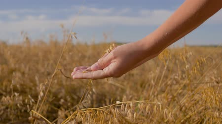 gently : Field Of Cereals Agronomist Hands Touch Ears Of Oats And Check Maturity Grains