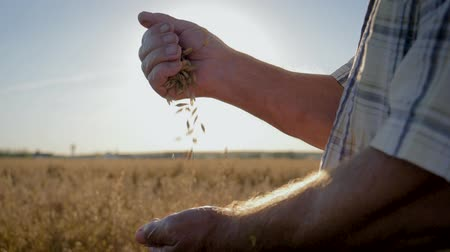 owies : Farmer Pour Golden Ripe Grains From Hand To Hand Background The Field Wideo