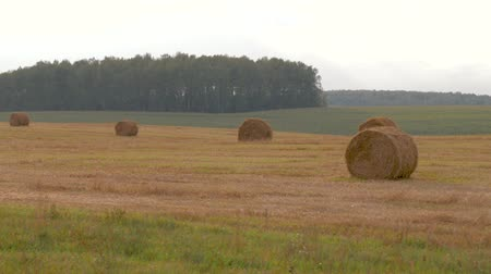 harvesting : Agricultural Field With Haystacks On A Hot Summer Day Stock Footage