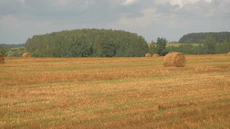 Panorama Of Agricultural Field With Haystacks In Hot Summer Day After Harvest