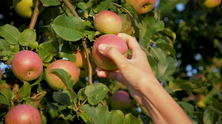 Woman Hand Collected A Ripe Apple From An Apple Tree In The Garden On Sunny Day