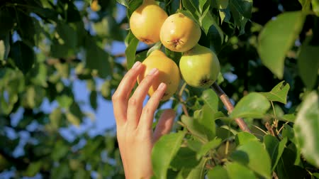 Woman Hand Picking A Ripe Pear From A Tree In The Garden On A Sunny Summer Day Wideo