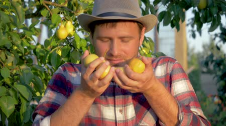 fruity garden : Man Farmer Holding In Hands Ripe Pears And Inhales Their Fragrance On An Orchard Stock Footage