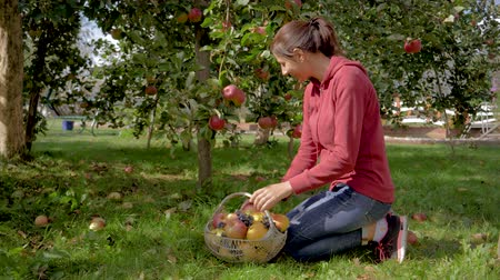 Woman In The Orchard Collects Ripe Apples From A Tree And Puts Them In A Basket