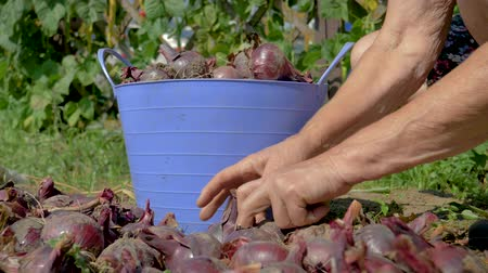 Hands Of An Old Farmer Collect Ripe Red Onions From The Plantation In Bucket Wideo
