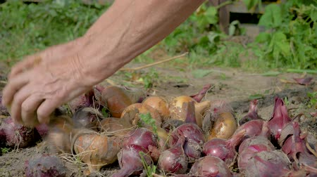 Old Farmer Collects Ripe Onions From Plantation Lays On The Ground For Drying