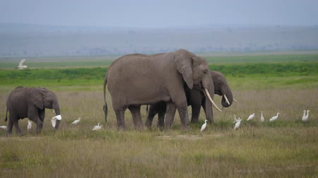 amboseli : Family Of Elephants With A Baby Elephant Eating Grass In The African Savannah