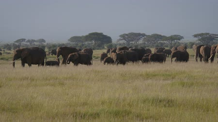 amboseli : Large Herd Wild Elephants With Baby Eating Grass In Pasture In African Savannah