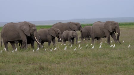 amboseli : Big Family Of Wild Elephants With Baby Eating Grass In The African Savannah